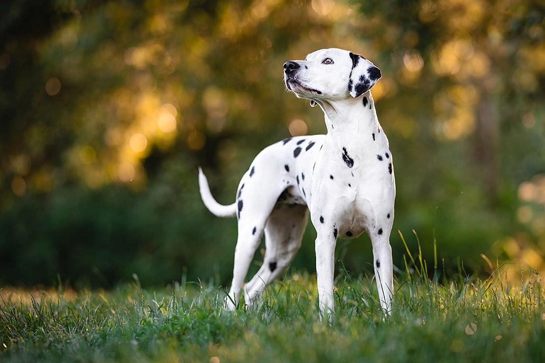 hunde fotoshooting dalmatiner
