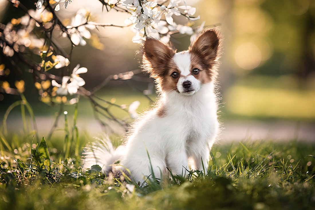hunde fotoshooting papillon welpe
