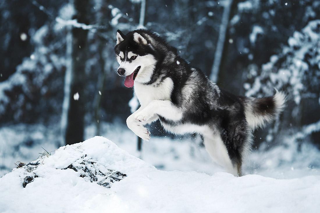 hunde fotoshooting huskyschnee