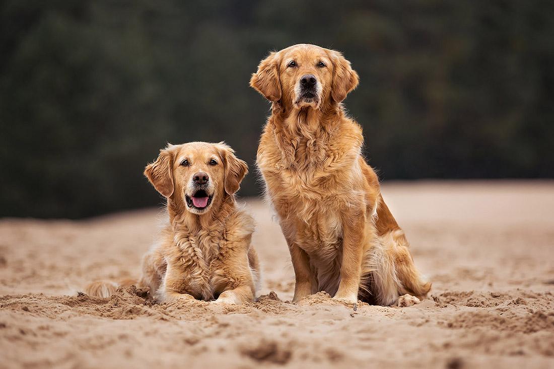hunde fotoshooting aussie