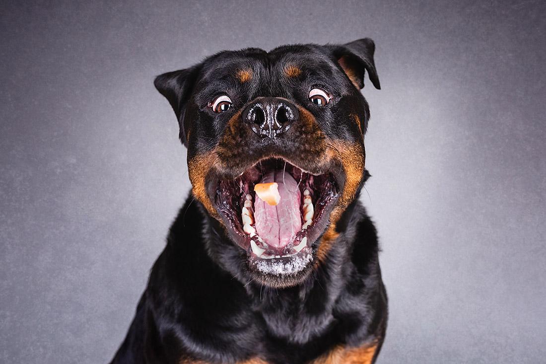 hunde fotoshooting studio rottweiler